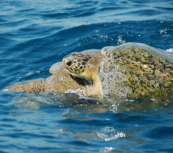mating green turtles